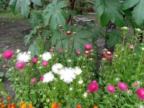 Астры - Городские цветы