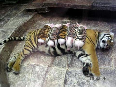 2010 - год тигра! - Средняя общеобразовательная школа 337
