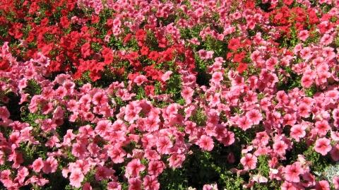 мои любимые цветы - Лариса Альбертовна Мирецкая