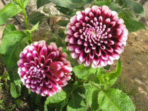 Георгины - Городские цветы