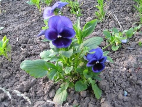 Виола - Городские цветы