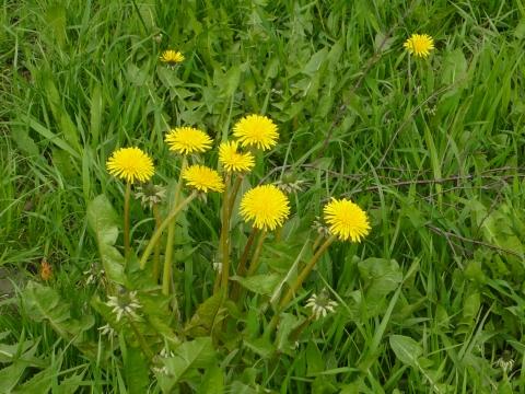 Одуванчики - Городские цветы