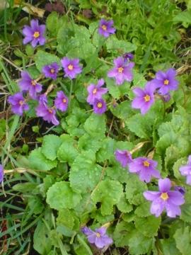 Примула - Городские цветы