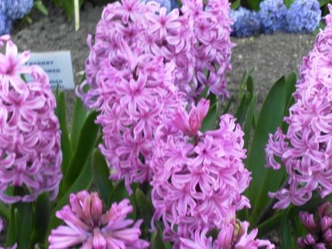 Гиацинты - Городские цветы