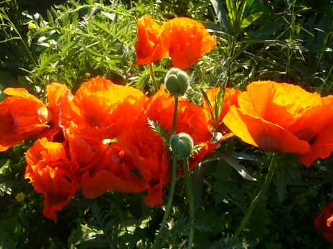 Красные маки - Городские цветы