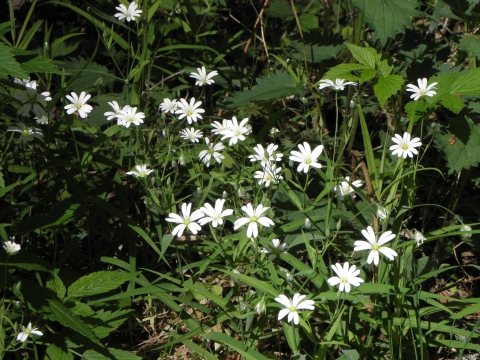 Звездчатка жестколистная  Stellaria holostea L.