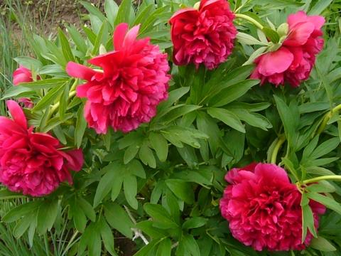 Старт дан, цветению пионов - Городские цветы