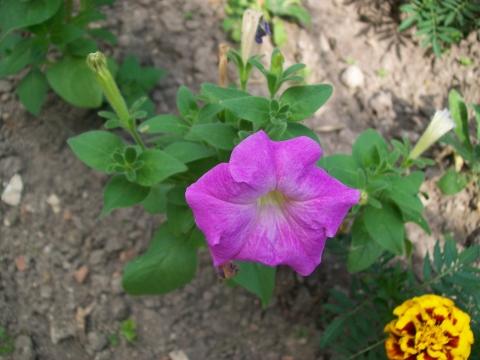 Петунья нашего сада - Городские цветы