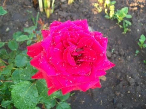 Роза нашего сада - Городские цветы