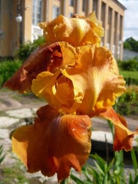 Ирис - Городские цветы
