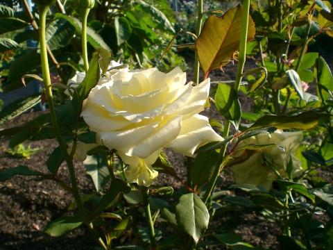 Розочка - Городские цветы