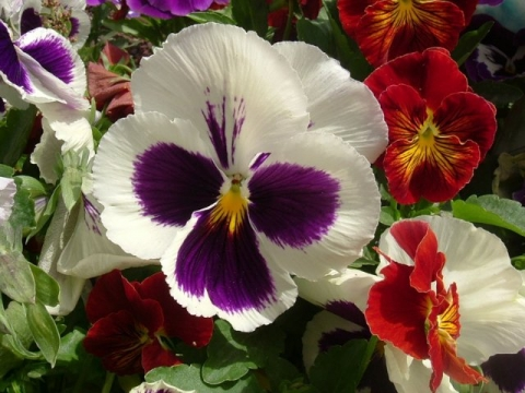 Анютины глазки - Городские цветы