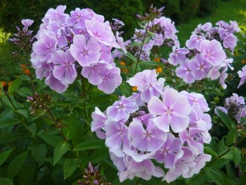 Флоксы - Городские цветы