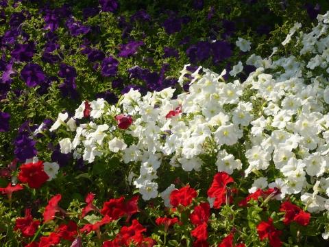 Петуньи - Городские цветы