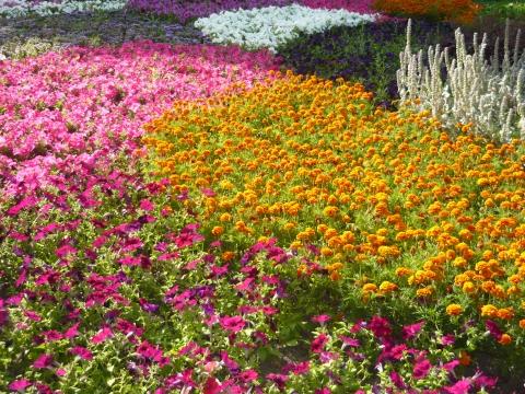 Цветочный ковёр - Городские цветы