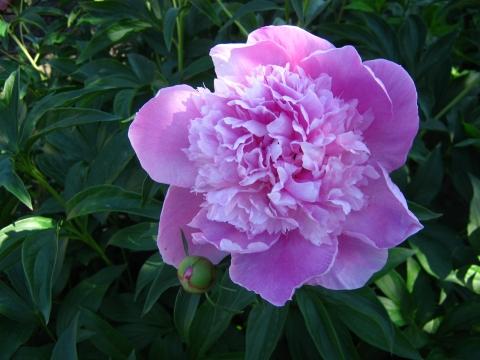 Одинокий пион - Городские цветы