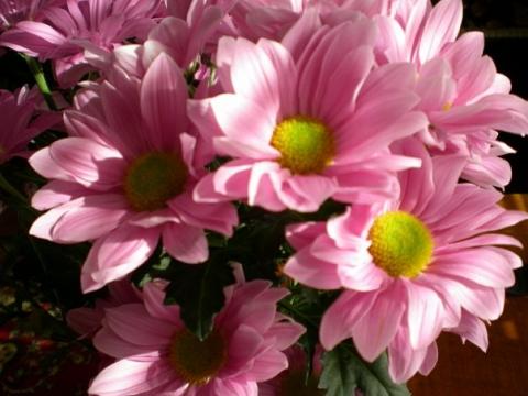 Хризантемы - Городские цветы