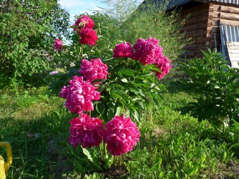 пионы - Ирина Анатольевна Опалихина