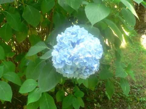 Гортензия - Городские цветы
