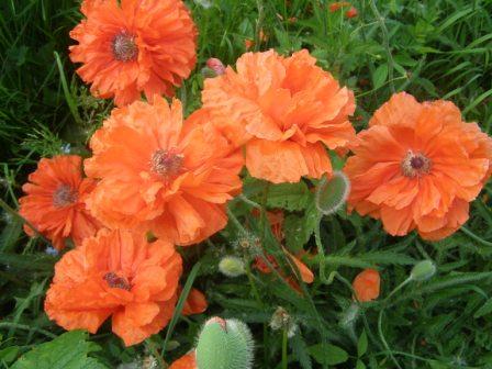 Маки - Городские цветы