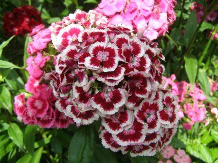 Гвоздика - Городские цветы