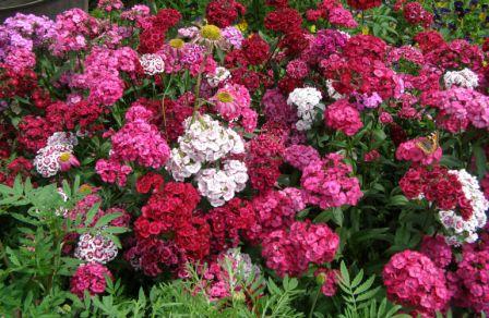 Гвоздики - Городские цветы