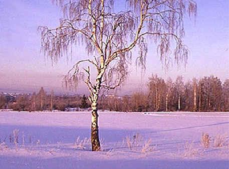 Береза в зимнем убранстве