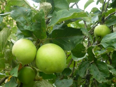 Яблоки в саду - Александра Николаевна Литвинова