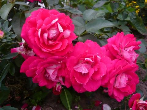 Розы - Александра Николаевна Литвинова
