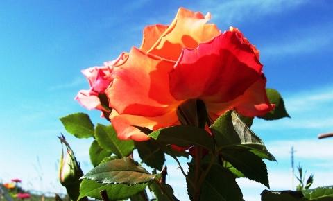 СЕВЕРНЫЕ РОЗЫ - Городские цветы