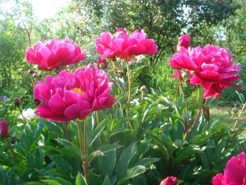 пионы - Городские цветы