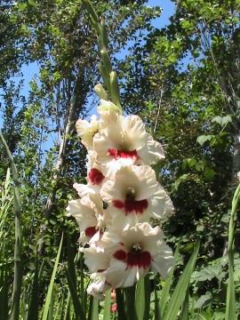 Гладиолус - Городские цветы