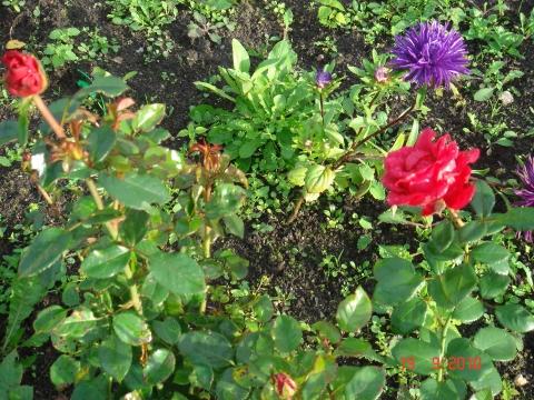 Расцветает роза в сентябре! - Наталия Николаевна Григорьева