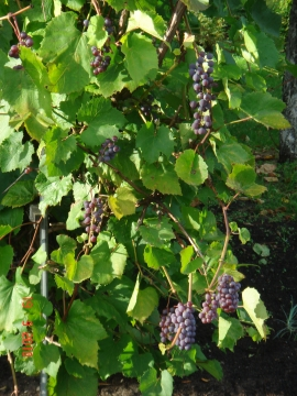 Питерский виноград - Наталия Николаевна Григорьева