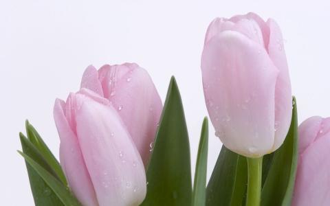 тюльпаны - Юлия Анатольевна Акмазикова
