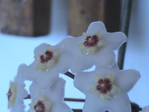 Цветок вдовьи слёзы