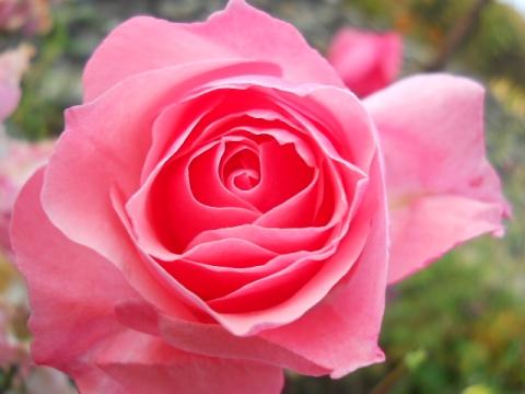 Роза .