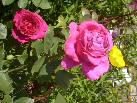 И на Родине Деда Мороза цветут розы! - Ирина Сергеевна Закусова