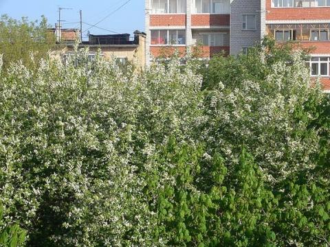 Черемуха - Фото сообщество
