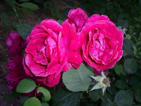Роза чайная - Фото клуб