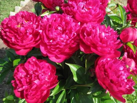 Мои любимые пионы - Городские цветы
