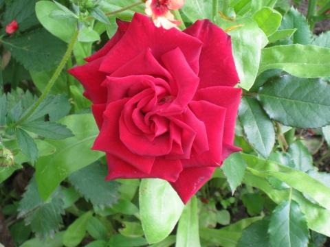 Роза - Городские цветы