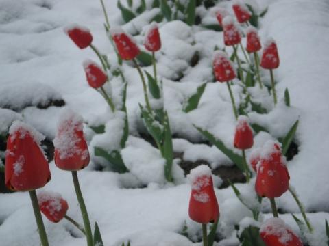 `Бедные тюльпаны` - Фото клуб