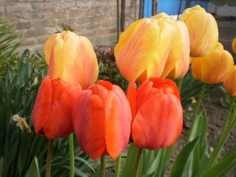 Апрель-время цветения тюльпанов - Городские цветы