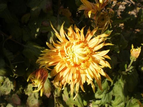 Хризатема Осенний бал - Городские цветы