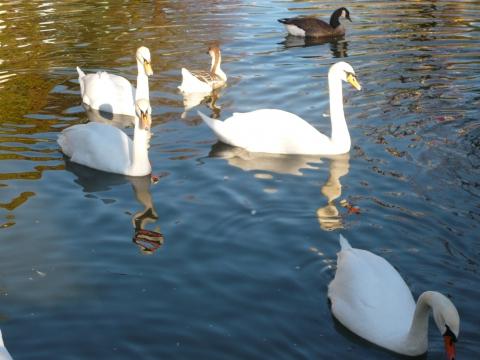 Крымские лебеди