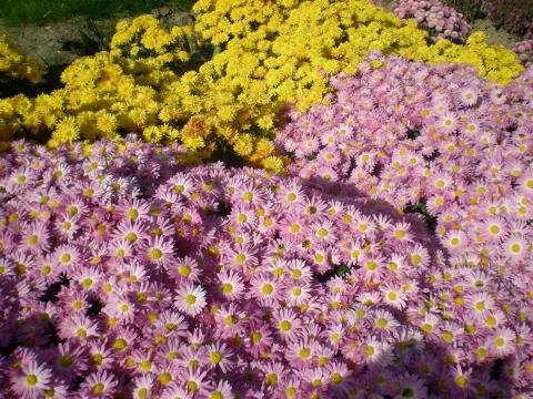 Парад хризантем - Городские цветы