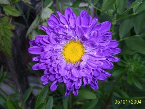 Астра - Городские цветы