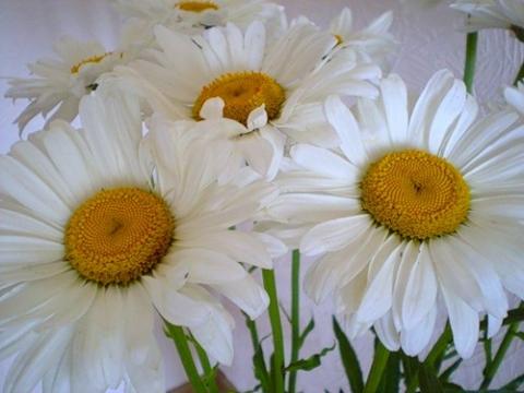 Ромашки - Городские цветы