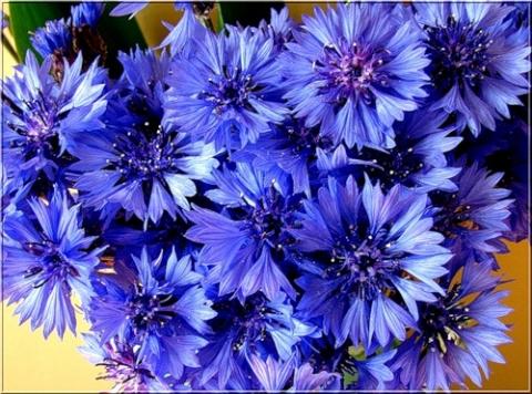 Васильки - Городские цветы